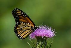 Mariposa de monarca Nectaring en cardo Fotografía de archivo