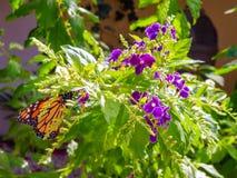 Mariposa de monarca negra y anaranjada que alimenta en una flor púrpura de Duranta imágenes de archivo libres de regalías