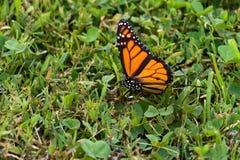 Mariposa de monarca (plexippus del Danaus) Fotografía de archivo