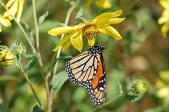 Mariposa de monarca, plexippus del Danaus Fotografía de archivo