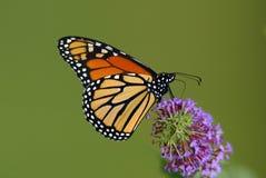 Mariposa de monarca (plexippus del Danaus) Foto de archivo libre de regalías