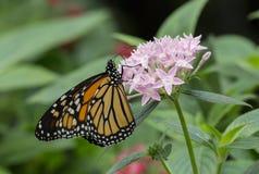 Mariposa de monarca, plexippus del Danaus Imagen de archivo libre de regalías