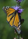 Mariposa de monarca (plexippus) del Danaus - vista lateral Fotografía de archivo