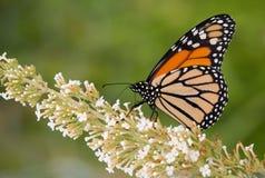Mariposa de monarca que alimenta en una flor blanca Imagen de archivo