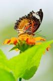 Mariposa de monarca que aspira el néctar Imagen de archivo
