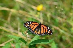 Mariposa de monarca que descansa sobre la flor Imagenes de archivo