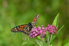 Mariposa de monarca que descansa sobre rama Imagenes de archivo