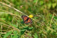 Mariposa de monarca que descansa sobre rama Fotografía de archivo libre de regalías