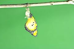 Mariposa de monarca que emerge Foto de archivo libre de regalías
