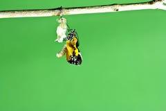 Mariposa de monarca que emerge Imagen de archivo libre de regalías