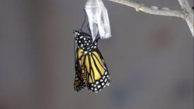 Mariposa de monarca que emerge de crisálida almacen de metraje de vídeo