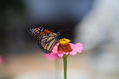 Mariposa de monarca que extrae el néctar de la flor rosada contra fondo borroso fotografía de archivo