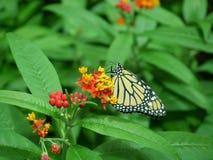 Mariposa de monarca que forrajea para el néctar Imágenes de archivo libres de regalías