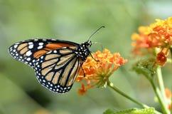 Mariposa de monarca que introduce en la flor Imágenes de archivo libres de regalías