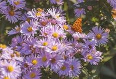 Mariposa de monarca que introduce en la flor rosada Imagenes de archivo