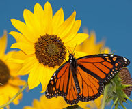 Mariposa de monarca que introduce en un girasol Foto de archivo libre de regalías