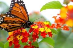 Mariposa de monarca que recolecta el néctar Imagen de archivo libre de regalías