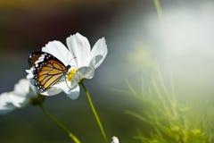 Mariposa de monarca que se reclina sobre una flor blanca Foto de archivo libre de regalías