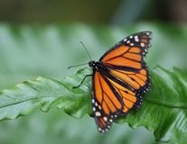 Mariposa de monarca que se sienta en la hoja verde Imagen de archivo