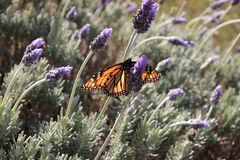 Mariposa de monarca que se sienta en las flores de la lavanda imagen de archivo