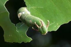 Mariposa de Nawab Catterpillar Imagen de archivo