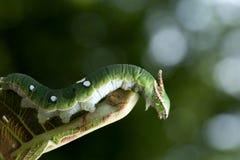 Mariposa de Nawab Catterpillar Imagenes de archivo