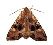 Mariposa de Noctuid Foto de archivo