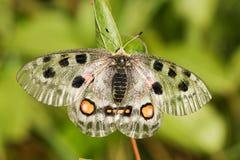 Mariposa de Nomion Imagen de archivo libre de regalías