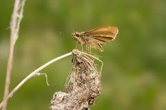 Mariposa de Ochlodes Faunus que se sienta en una flor seca Fotografía de archivo