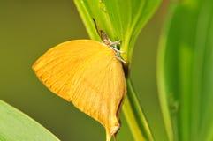 Mariposa de oro Fotos de archivo libres de regalías