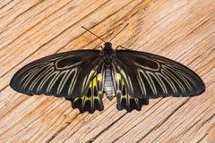 Mariposa de oro de Birdwing Foto de archivo