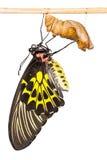 Mariposa de oro de Birdwing Imagen de archivo libre de regalías