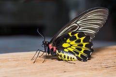 Mariposa de oro de Birdwing Imágenes de archivo libres de regalías