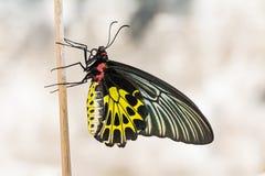 Mariposa de oro de Birdwing Foto de archivo libre de regalías