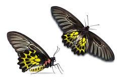 Mariposa de oro del aeacus de Birdwing Troides Imágenes de archivo libres de regalías