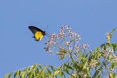 Mariposa de oro femenina de Birdwing en la alimentación amarilla y negra brillante Fotografía de archivo
