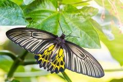 Mariposa de oro femenina del aeacus de Birdwing Troides Fotografía de archivo libre de regalías