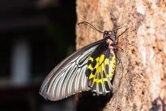 Mariposa de oro femenina del aeacus de Birdwing Troides Imágenes de archivo libres de regalías