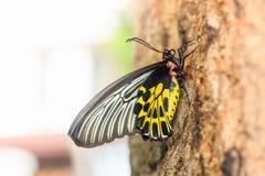 Mariposa de oro femenina del aeacus de Birdwing Troides Imagen de archivo
