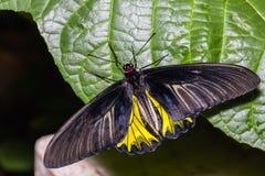 Mariposa de oro masculina del aeacus de Birdwing Troides Imagen de archivo libre de regalías