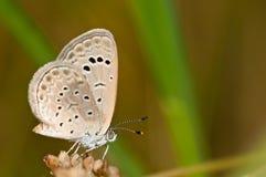 Mariposa de Pale Grass Blue Fotografía de archivo libre de regalías