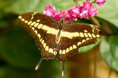 Mariposa de Papilio Thoas Imagen de archivo libre de regalías