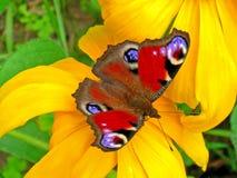 Mariposa de pavo real Imagen de archivo