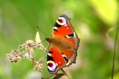 Mariposa de pavo real Foto de archivo libre de regalías