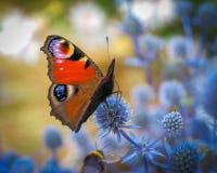 Mariposa de pavo real Foto de archivo