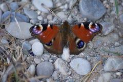 Mariposa de pavo real Imagen de archivo libre de regalías