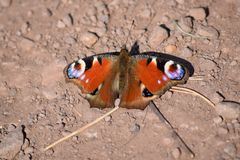 Mariposa de pavo real Aglais io Imagen de archivo