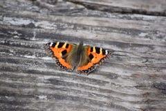 Mariposa de pavo real Aglais io Fotos de archivo