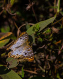 Mariposa de pavo real blanca Imágenes de archivo libres de regalías