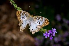 Mariposa de pavo real blanca Fotos de archivo libres de regalías